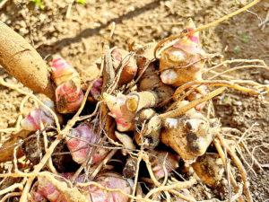 ヤーコンの種芋