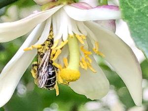 レモンの花とハナバチ
