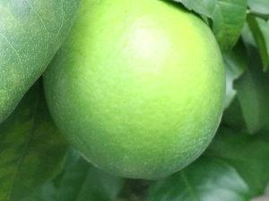 まだ青いレモンの果実