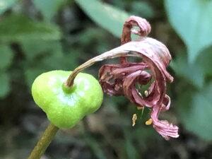 キツネノカミソリの果実