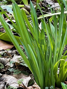 キツネノカミソリの葉