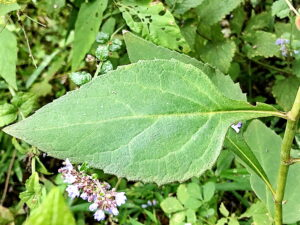 シラヤマギクの葉
