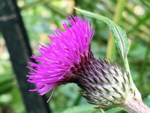 ノハラアザミの花