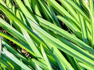ヒガンバナの葉