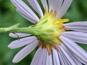 ユウガギクの花