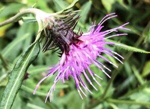 タイアザミの花
