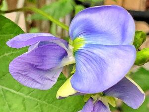 シカクマメの花