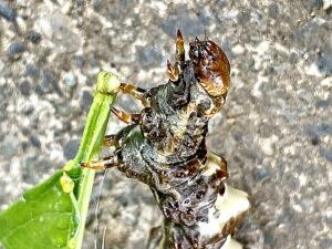 オカモトトゲエダシャクの幼虫