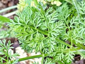 オルラヤ・グランディフローラの葉