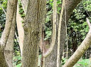 サワフタギの幹