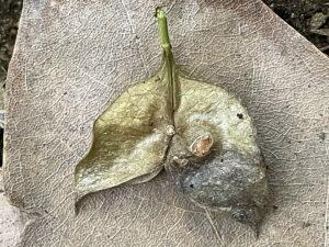 ミツバウツギの果実