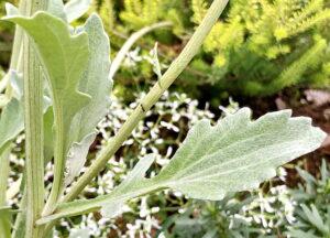 アークトチス・グランディスの葉