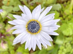 アークトチス・グランディスの花