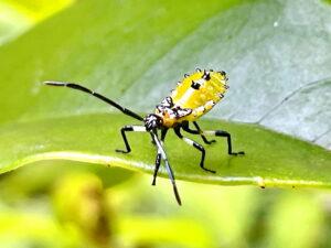 キバラヘリカメムシ幼虫