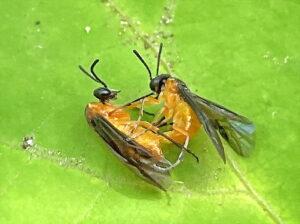 交尾中のセグロカブラハバチ