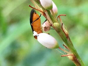 セグロカブラハバチ