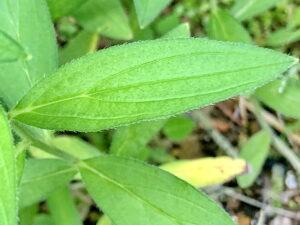 ムラサキの葉