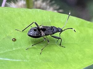 オオモンシロナガカメムシの幼虫