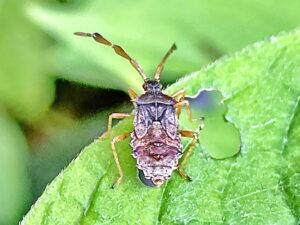ハリカメムシの5齢幼虫