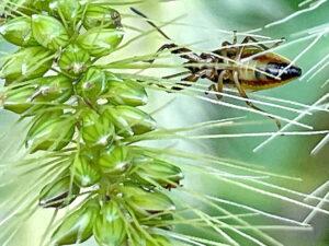 ヒゲナガカメムシの幼虫