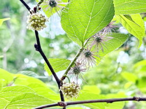 ヒメコウゾの花