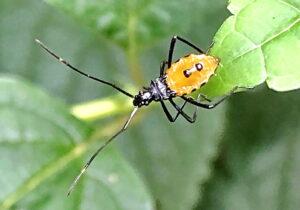 ミナミトゲヘリカメムシの4齢幼虫