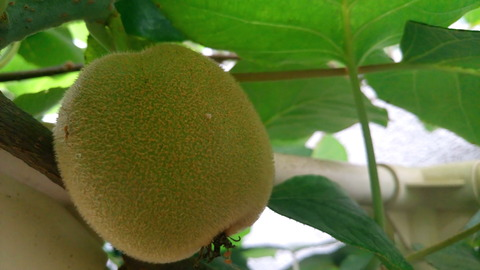ガーデニング 庭 そだて方 グラジオラス キウイ アゲハの幼虫 レモン