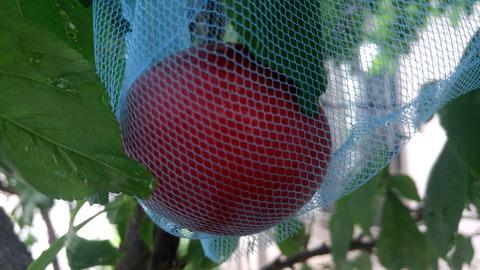 スモモ熟すと網の中に落下します