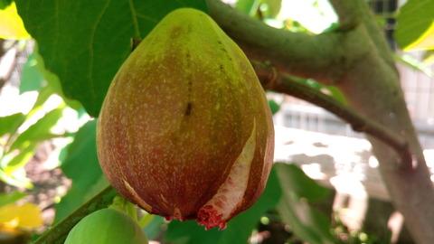 イチジク(蓬莱柿)の夏果