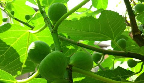 イチジク( 蓬莱柿 )