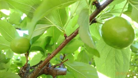 スモモの若い果実、淡緑色の葉に紛れてやっと見つけました