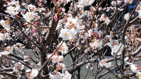 さくらんぼ花
