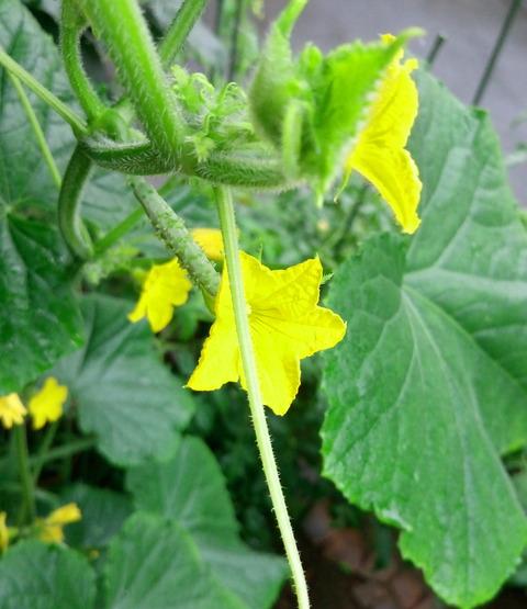 ガーデニング 庭 そだて方 種類 キュウリ ローマ皇帝 カエサル 促成栽培 ビタミン破壊疑惑