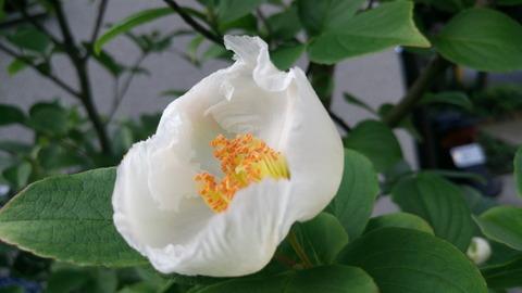 繊細な花弁のヒメシャラ